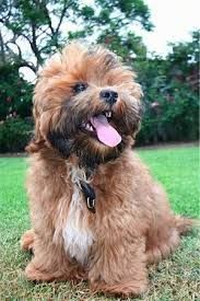 Shorkie Tzu Information and Pictures. The Shorkie Tzu is not a purebred dog. It is a cross between the Shih Tzu and the Yorkshire Terrier. Shih Tzu Puppy, Yorkie, Shorkie Tzu, Dog Treat Dispenser, Cute Puppies, Dogs And Puppies, Animals And Pets, Cute Animals, Tough Dog Toys