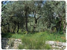 L'olivier  Site - http://mistoulinetmistouline.eklablog.com Page Facebook - https://www.facebook.com/pages/Mistoulin-et-Mistouline-en-Provence/384825751531072?ref=hl