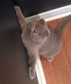 Milla the Scottish Fold Cat - Cats Tips & Advice | mom.me