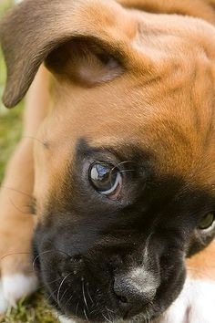 Boxer Puppy. Im an old cat lady now but someday before Im gone, Id love to have another Boxer.  ___ Visit our website now!