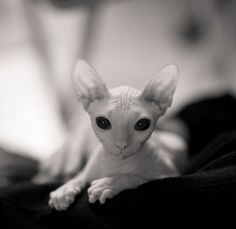 sphynx cat love these! I Love Cats, Crazy Cats, Cool Cats, Baby Animals, Funny Animals, Cute Animals, Chat Sphynx, Hairless Cats, Sphinx Cat