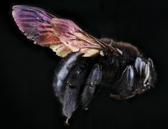 The photos of native bees and wasps taken at the U. Geological Survey Bee Inventory and Monitoring Lab are used for scientific purposes, but they are. Bee Pictures, Close Up Pictures, Foto Macro, Mantis Religiosa, Carpenter Bee, Bees And Wasps, Bugs And Insects, Bees Knees, Bee Keeping