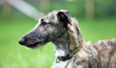 Sighthounds and sighthound crosses such as Longdogs have similar temperaments: they are usually quiet in the home, affectionate but not clingy, and love to chase moving objects, especially if they are furry.