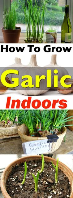 To Grow Garlic In Pots Growing garlic indoors is not difficult and you'll be able to get . How To Grow Garlic In Pots Growing garlic indoors is not difficult and you'll be able to get the supply of fresh green stalks, flowers, and even the garlic bulbs. Indoor Vegetable Gardening, Hydroponic Gardening, Hydroponics, Organic Gardening, Container Gardening, Gardening Tips, Aquaponics System, Gardening Services, Gardening Books