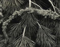 """Pine Branches, Yosemite Valley - This photograph, taken by Ansel Adams, is one of many by the photographer in the collection. Adams was friends with the inventor of Polaroid, who encouraged him to build a """"Library Collection"""" of contemporary photography for the Polaroid company — of both Polaroid images and more conventional types of photography."""