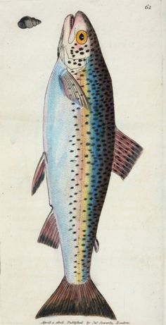 The British miscellany or coloured figures of new rare, or little known animal subjects; many not before ascertained to be inhabitants of the British Isles; and chiefly in the possession of the author. Salmo Fario; var. (Gillaroo Trout) [Class 4. Pisces; Order 4. Abdominal]  Sowerby, James,1757-1822 — Author  Engravings — Hand-colored