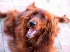 Pictures of Irish Setter Dog Breed