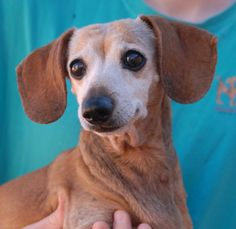 Please help find a hero for Patty, a 14-year-old angel debuting for adoption this morning at Nevada SPCA (www.nevadaspca.org).  She is a petite Dachshund, spayed girl, good with other dogs, and blessed with a very kind spirit.  Patty was found near a busy street with no sign of responsible ownership.