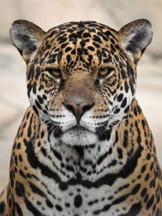 Jaguar close-up by Evil Cat / Animal Jaguar, Jaguar Leopard, Wild Animals Photography, Wild Photography, Jungle Animals, Cute Animals, Rainforest Animals, Beautiful Cats, Animals Beautiful