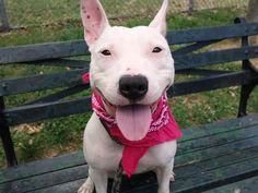 SAFE ❤️❤️❤️❤️❤️ 9/3/16 LOLA aka PAIGE – A1074126 **RETURNED 06/26/16, SAFER: EXPERIENCED HOME** SPAYED FEMALE, WHITE / BROWN, AM PIT BULL TER MIX, 1yr 1 mos RETURN – ONHOLDHERE, HOLD FOR ID Reason BITEPEOPLE Intake condition UNSPECIFIE Intake Date 06/25/2016, From NY 11365, DueOut Date 06/25/2016,