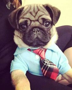"""Business Pug - """"You can pet me now, thank you."""""""