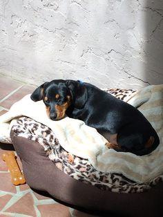 Dodi's celebrating #NationalPuppyDay, #dachshund style.