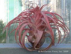 Eric Knobloch (T. brachycaulos X T. streptophylla)    is a venerable hybrid of Tillandsia brachycaulos and T. streptophylla that was made in New Orleans in the 1960s. It is still one of the most beautiful hybrids. Tillandsia Eric Knobloch grows to some 20cm and the leaves turn a frosty rose when the blooming cycle begins. $15,00 http://www.rainforestflora.com/store/tillandsia/A30220/Eric-Knobloch-/