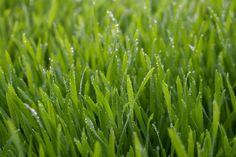 Paso a paso: siembra del césped - http://www.jardineriaon.com/paso-paso-siembra-del-cesped.html