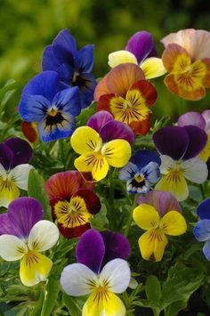 """Terrific Absolutely Free Pansies flowers Style Pansies would be the colorful flowers with """"faces."""" A cool-weather favorite, pansies are ideal f Flowers Nature, Exotic Flowers, Amazing Flowers, Pretty Flowers, Colorful Flowers, Spring Flowers, Unique Flowers, Purple Flowers, Bloom"""