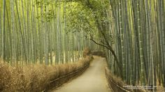 Bamboo Grove, Kyoto Prefecture, Japan