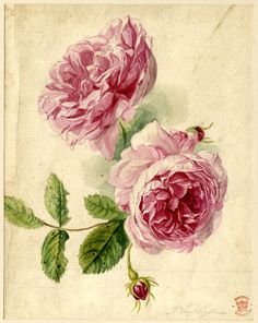 Flower study, formerly in an album, drawn by Jan van Huysum. Watercolour of two pink roses in full bloom, with two buds and foliage.