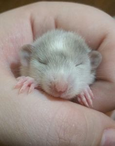 Cute baby rat x Funny Animal Memes, Funny Animals, Funny Memes, Nature Animals, Animals And Pets, Baby Animal Drawings, Fancy Rat, Rodents, Hamsters