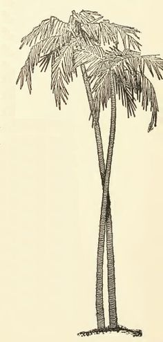 Palm tree drawing. Make it four entwined at different heights. Need to sketch this soon