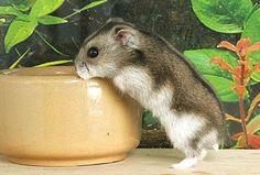 Dwarf Hamster - sooo cute