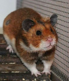 107 Best Hamster colors images | Syrian hamster, Pet rodents