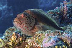 black-sided hawkfish by Thomas Bannenberg on 500px