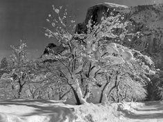 Ansel Adams Half Dome   Ansel Adams -- Half Dome, Apple Orchard, Yosemite (1933)