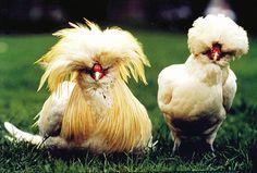 Sobre las gallinas felices | Vegan.