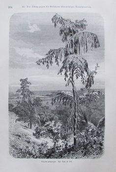 1896 SCHUTZ TRANSPIRATION CARYOTA PROPINQUA alter Druck antique Print Litho
