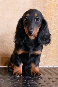 adorable long haired doxie