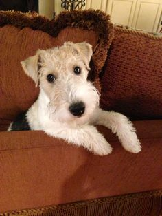 Wire Hair Fox Terrier I love these little guys