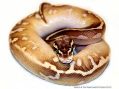 Buttered Rum - Morph List - World of Ball Pythons Pretty Snakes, Beautiful Snakes, Animals Beautiful, Python Royal, Snake Breeds, Dream Snake, Snake Painting, Milk Snake, Burmese Python
