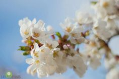 White Spring flowers - Pear Tree  fine art print-  New England photography, white, blue,  flowers, rustic, country, garden, wall decor