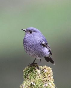Plumbeous Water Redstart | By Kampang