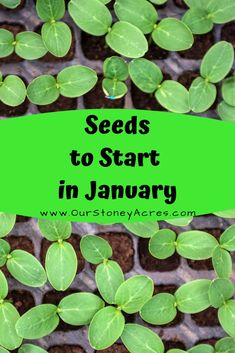 What seedlings can you start January? Here is a list of ideas of seeds you can … What seedlings can you start January? Here is a list of ideas of seeds you can start in the winter time. # What seedlings to plant in January