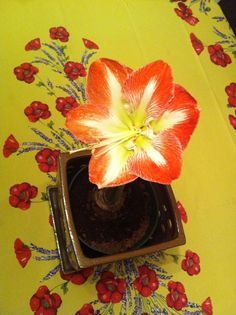 Amaryllis is a spring plant, too. By Parvati Dev