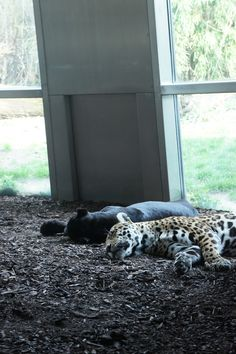 Soo tired of doing nothing. Jaguars, zoo of Vienna, Austria. Vienna Austria, Tired, Most Beautiful, Old Things, Im Tired