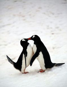 AWWWW!!! And the one on the left, him's shaking his tail with escitement!!! Is like a foot pop for penguins!!!!!