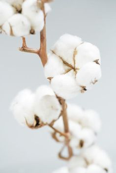 fleur_de_coton by Aleksey Yelizarov on Head In The Clouds, Cotton Plant, Cotton Fields, Shades Of White, Belleza Natural, Winter Garden, Clipart, Pretty Flowers, Photos