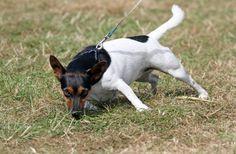 Det er en udbredt myte er, at det er dig, som ejer, der skal bestemme farten, når I er ude at gå. Selvfølgelig skal hunden have lov til at snuse.