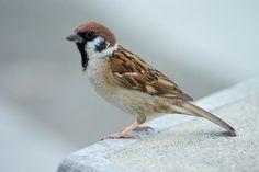 Pilfink, Eurasian tree sparrow