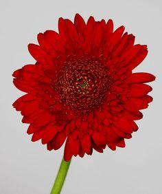 Fotos de flores de Gerberas