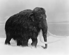 wooly mammoths - Google Search