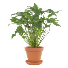Green lifestyle store Philodendron Xanadu incl. terracotta pot Lifestyle Store, Taupe, Nice, Interior, Plants, Ideas, Seeds, Beige, Indoor