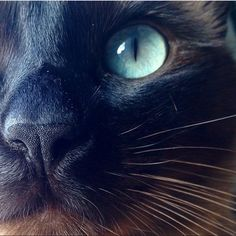"""3,766 Likes, 73 Comments - Chocolate Brown Siamese Cat (@cola_thecat) on Instagram: """"Come close and boop my nose ❤️ #Boop #boopmynose #closeup"""" #SiameseCat"""