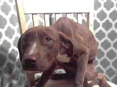 STARVED AND DISCARDED LIKE TRASH. Animal ID: A4784616 I don't have a name yet and I'm an approximately 6 month old female pit bull. I am not yet spayed. I have been at the Baldwin Animal Care Center since December 16, 2014. I will be available on December 22, 2014. You can visit me at my temporary home at B315. 4275 Elton Street, Baldwin Park, CA 91706, United States +1 626-962-3577 — https://www.facebook.com/photo.php?fbid=834580419926713&set=a.179726018745493.56887.100001242893801&type=1