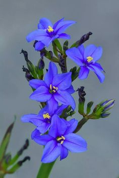 Aristea ecklonii [Family: Iridaceae] - by HIRO. Exotic Plants, Exotic Flowers, Real Flowers, Amazing Flowers, Purple Flowers, Wild Flowers, Beautiful Flowers, My Flower, Flower Power
