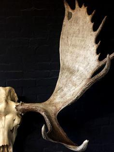 Big skull of an Alaskan Moose - Antlers, deer antlers. skulls skeleton - De Jachtkamer