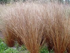 Carex Red Rooster Carex buchananii fire fox