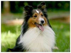 I want another Sheltie!  :)